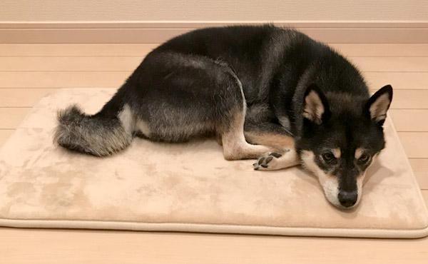 <span>柴犬特有の太く硬い毛のお掃除をしやすく</span>和犬の剛毛に悩まされる方は多いはず。お掃除のしやすい、毛足の短いマットをご紹介します!