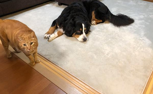 <span>フローリングで生活するつ大型犬の、足腰負担軽減に</span>クッション性があって、滑らないラグで安心のフローリング生活