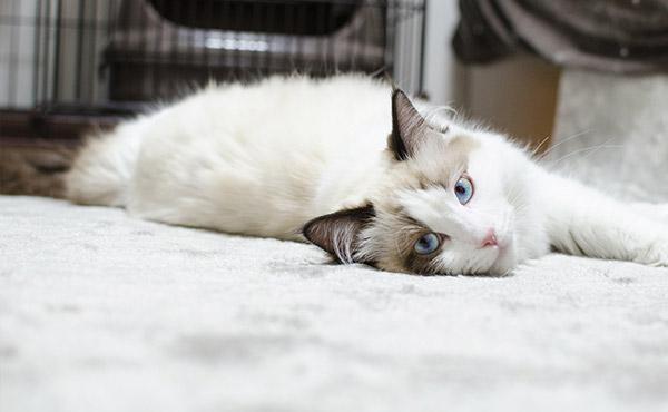<span>猫さん4匹のいろんなお悩みに</span>フローリングの滑り対策や負担対策。1枚敷くだけでとっても快適に