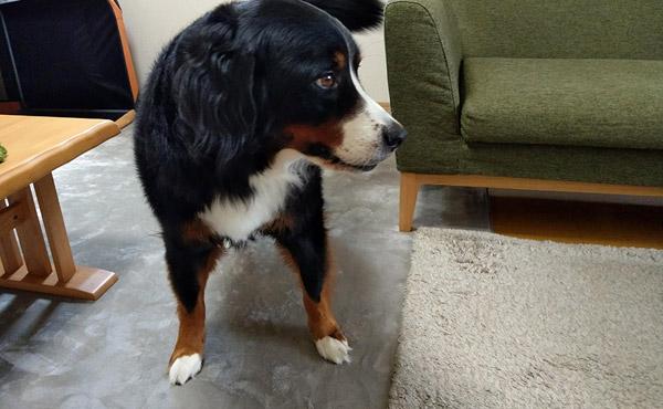 <span>関節炎持ちの愛犬に!</span>人にも愛犬にもやさしい高反発ラグ