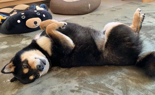 <span>フローリングが滑り対策と、柴犬の換毛期お掃除対策に。</span>フローリングで滑って、ソファから降りるのが怖くなってしまった柴犬の足腰負担の対策に。