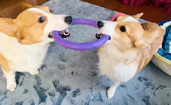 <span>コーギー2匹のヘルニア&抜け毛対策</span>ヘルニアが多い犬種のコーギー。フローリングの上で遊ばせるのは心配です。