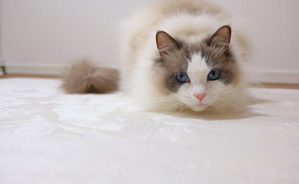 <span>長毛猫ラグドールのお掃除対策、音対策に</span>長毛だからお掃除が大変!元気なので大ジャンプや猛ダッシュの音対策にも